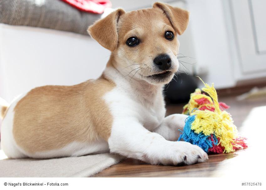 Jack Russell Terrier Welpen möchten spielen