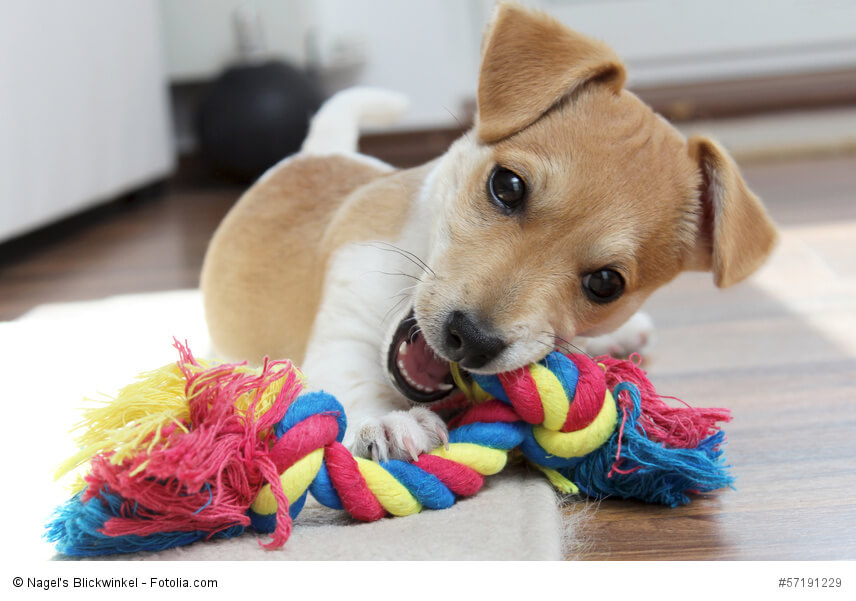 Jack russell terrier steckbrief fci klasse wesen und mehr