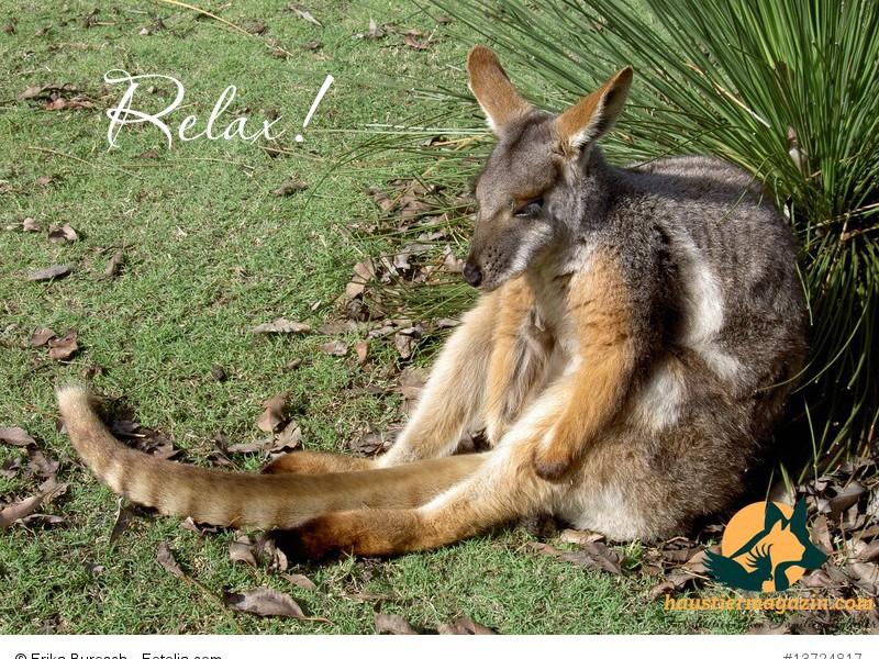 Känguruh in Australien
