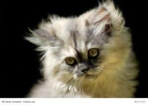 Portrait eines Katzenwelpe Fellfarbe Point