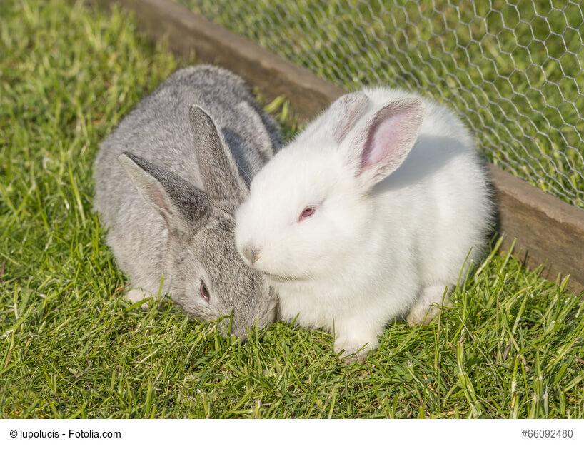 Weißes und graues Kaninchen kuscheln auf einer Wiese