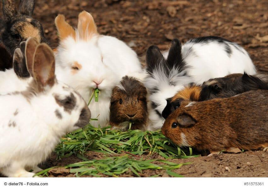 Eine Gruppe von mehreren Kaninchen und Meerschweinchen frisst gemeinsam in einem großen Käfig.