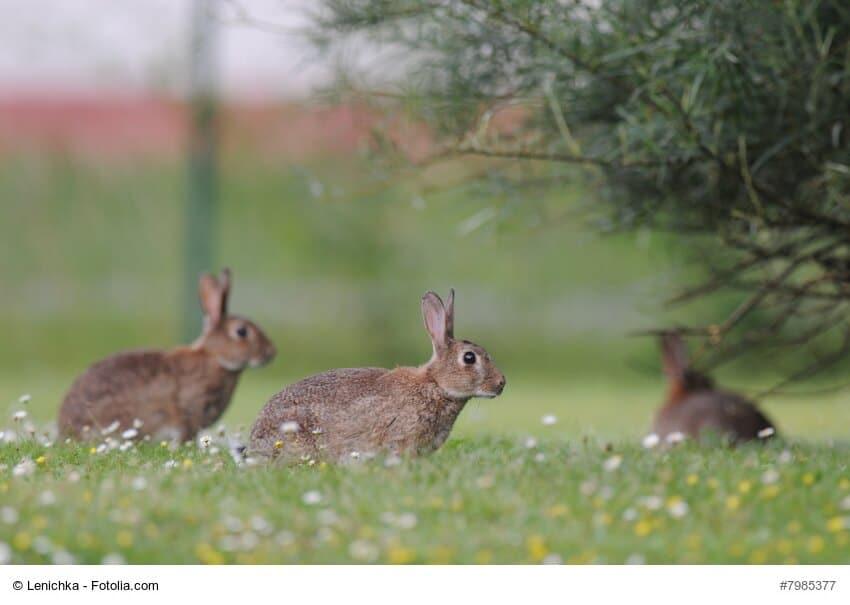 Drei wilde braune Kaninchen auf einer Wiese