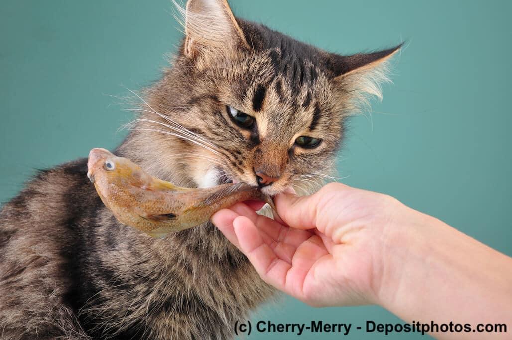 Eine Katze frisst einen Fisch aus der Hand vor grünem Hintergrund