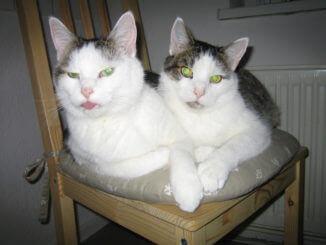 Katzen kuscheln auch auf kleinen Stühlen.