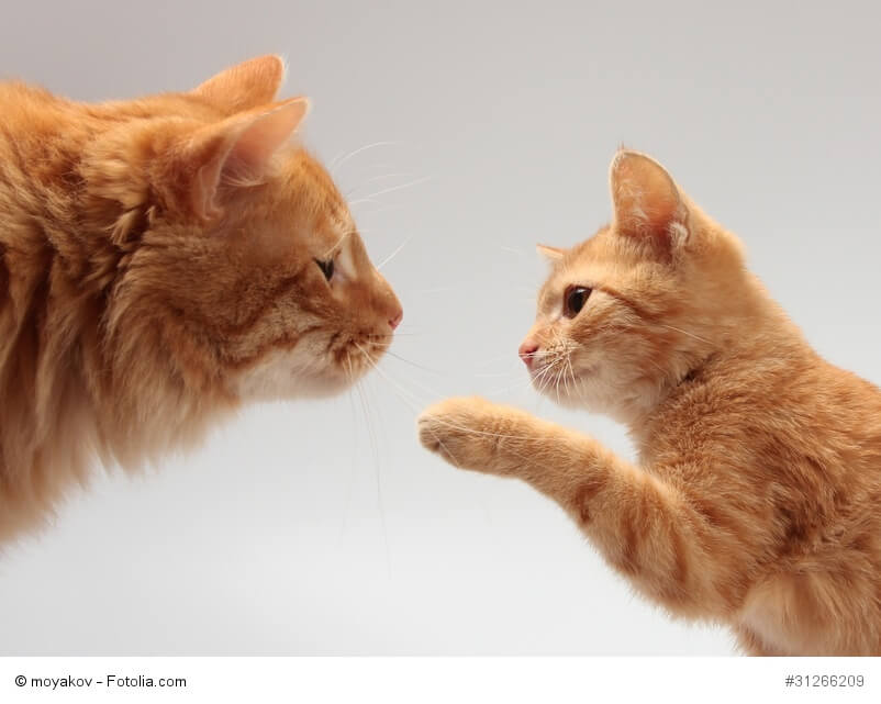 Rotgetigerte Katzenmutter mit Kitten , das nach ihr tappst