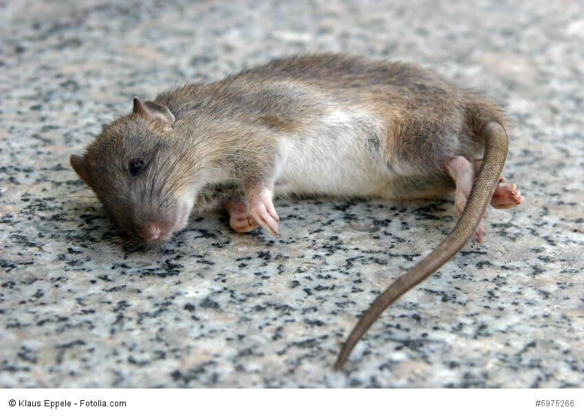 Eine tote Maus liegt auf einem Steinboden