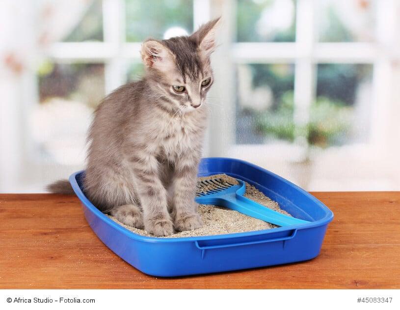 Ein graues Kitten sitzt traurig guckend in einem blauen flachen Katzenklo