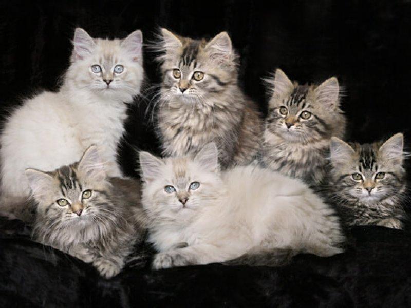 Deutsch Langhaar: 12 Wochen alte Kitten von Sinthari