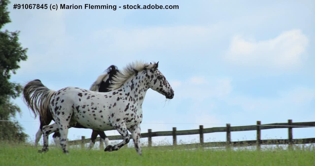 Warmblüter, ein Knabstrupper und ein Pinto Pony auf einer Weide