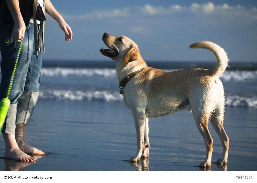 Labrador Retriever sind sehr aufmerksame Tiere, die gerne arbeiten und gefordert werden. Auch im Urlaub am Strand.
