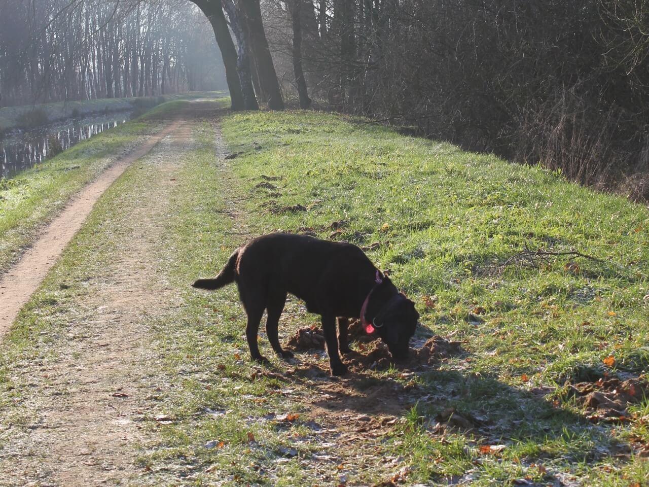 Ein Labrador schnüffelt an einem Laubhaufen