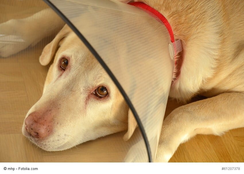 Labrador mit Halskrause liegt auf dem Boden