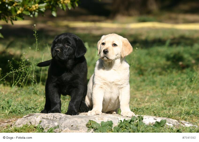 Labrador-Welpen wie diese beiden hell und dunklen Exemplare sind verspielte aber auch schon sehr aufmerksame Hunde, die du schon sehr früh erziehen kannst.
