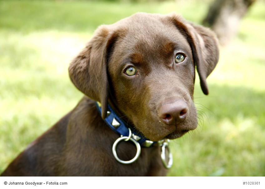 Golden Retriever Chocolate Lab Mix Pictures