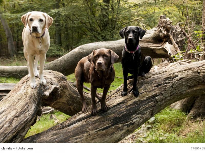 Die drei möglichen Farben der Labrador Retriever