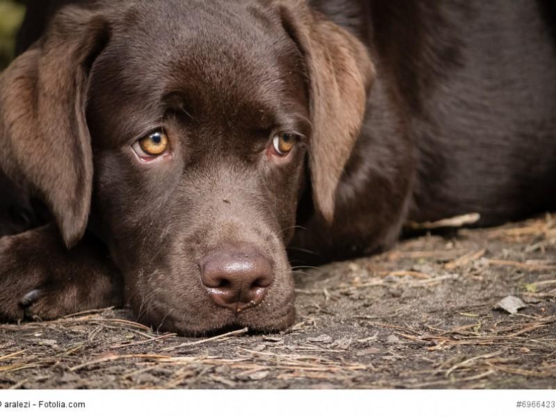 Ein Labrador braucht engen Anschluss an seine Familie. Reine Zwingerhaltung lässt ihn krank werden.