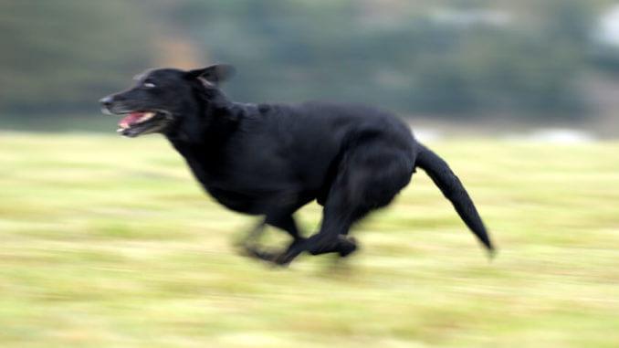 Ein Labrador ist kein Schoßhund. Er braucht täglich ausreichend Bewegung.