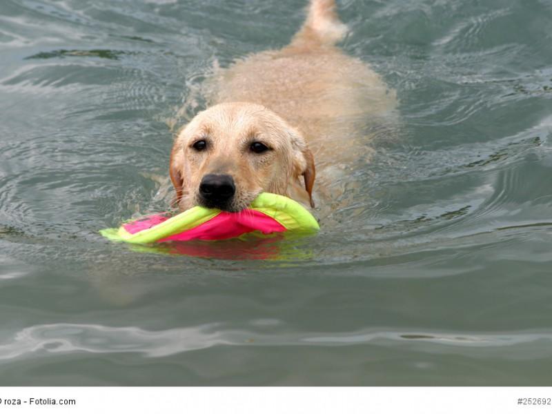 Spielen und Wasser – eine hervorragende Kombination für jeden Labrador!
