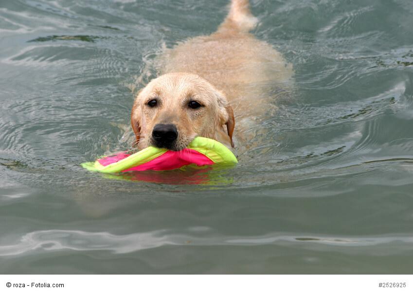 Spielen und Wasser - eine hervorragende Kombination für jeden Labrador!