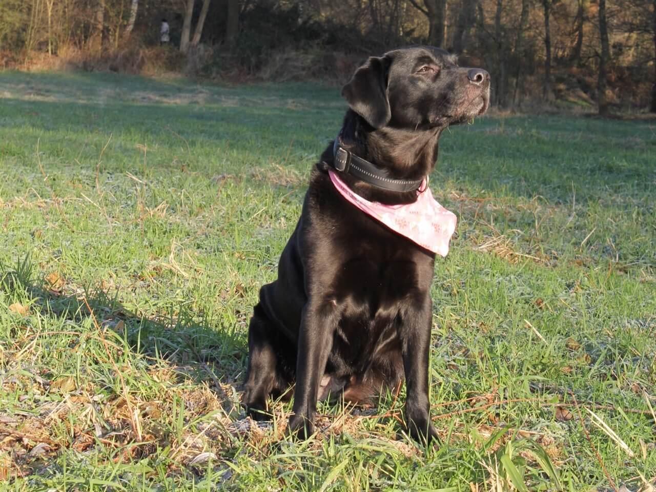 Ein Labrador sitzt im Gras und schaut zur Seite