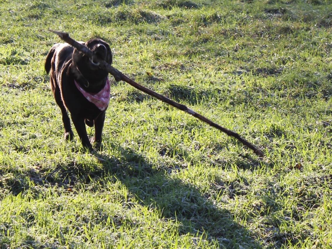 Ein schwarzes Labrador spielt mit einem großen Stock