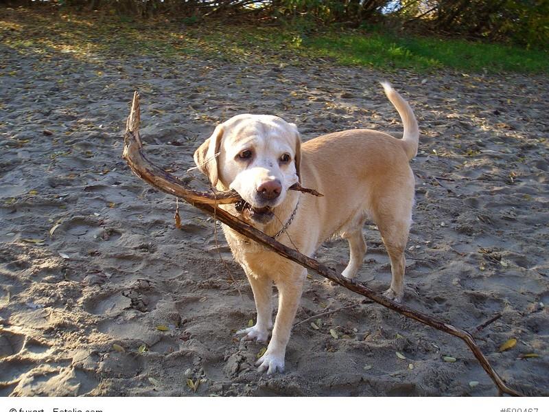 Ein Labrador braucht immer etwas zu tun. Und wenn es nur das Apportieren von Stöcken ist.