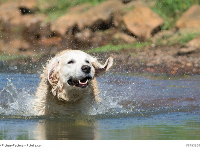 Labrador Retriever gehören in die Kategorie der Apportier-, Stöber- und Wasserhunde. Und das zu recht!
