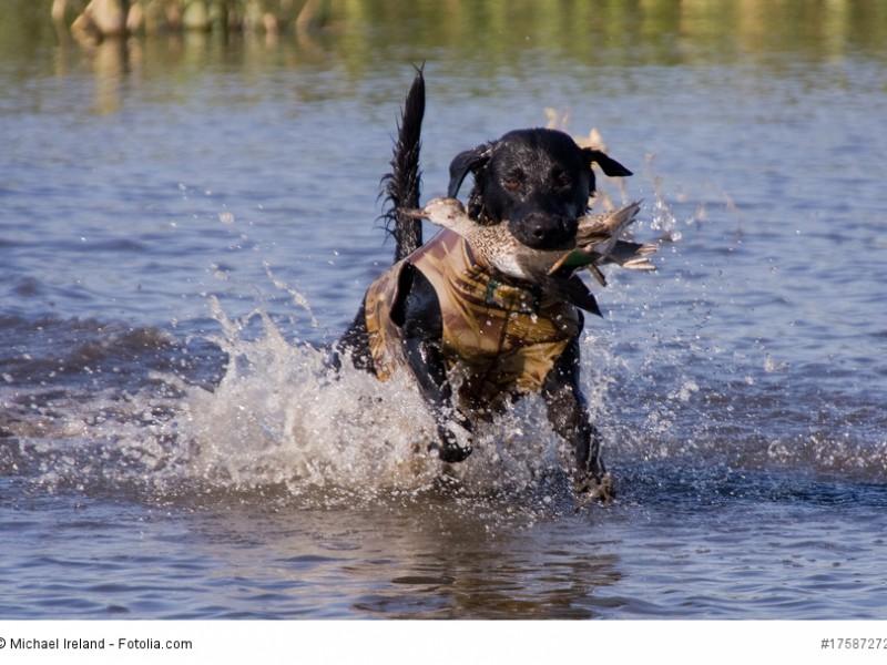 Der Labrador Retriever bekam seinen Namen nachdem seine hervorragenden Apportiereigenschaften erkannt wurden.