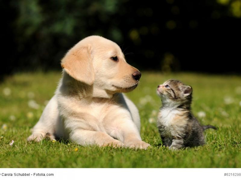 Labrador Retriever sind auch mit Katzen sehr verträgliche Hunde – auch wenn diese beiden sich erst aneinander gewöhnen müssen.