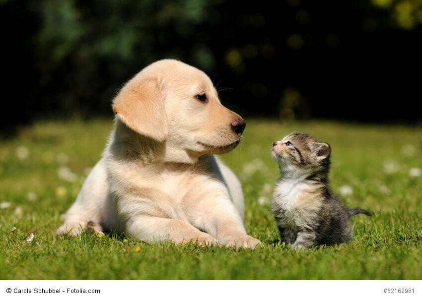 Labrador Retriever sind auch mit Katzen sehr verträgliche Hunde - auch wenn diese beiden sich erst aneinander gewöhnen müssen.