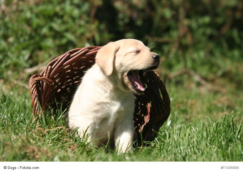 Labrador-Welpen verbringen ihr Leben wie alle jungen Hunde abwechselnd mit Spielen und Schlafen.