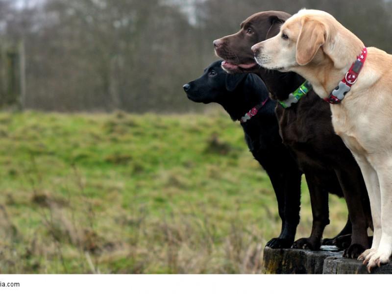 Labrador Retriever wollen gefordert werden sonst wird ihnen schnell langweilig und sie sind nicht mehr so aufmerksam wie diese drei.