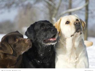 Mit ihrem dichten Fell sind diese drei unterschiedlich farbigen Labrador-Retriever auch für Schnee gut gerüstet.
