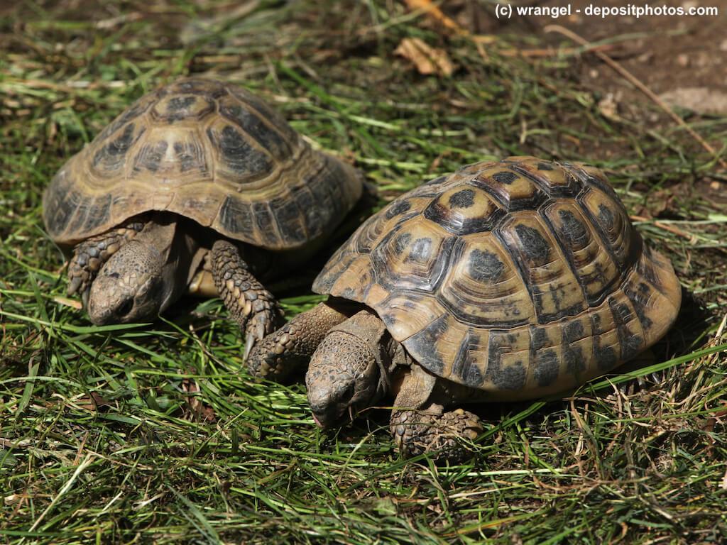 Zwei Landschildkröten nebeneinander auf Gras