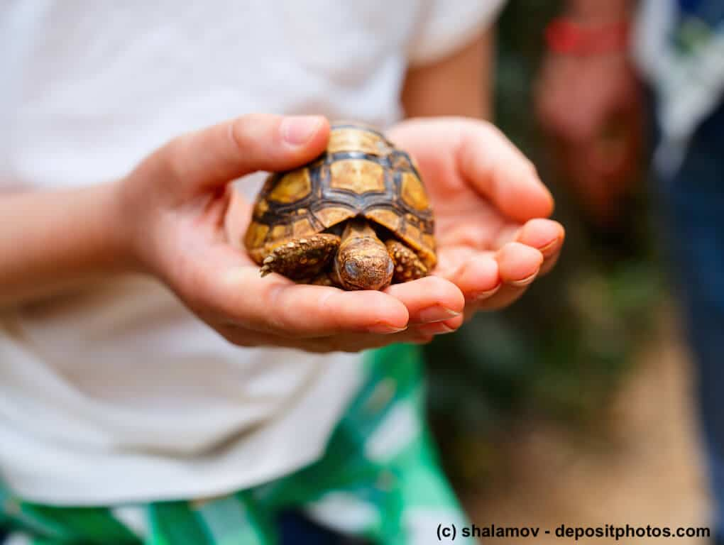 Kind hält Landschildkröte. Vorsicht vor Salmonellen.