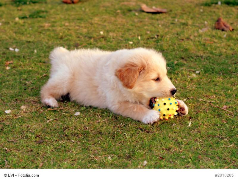 Junge Labrador-Welpen sind wie alle Kinder sehr verspielt und verbringen ihre Zeit am liebsten draußen im Grünen.