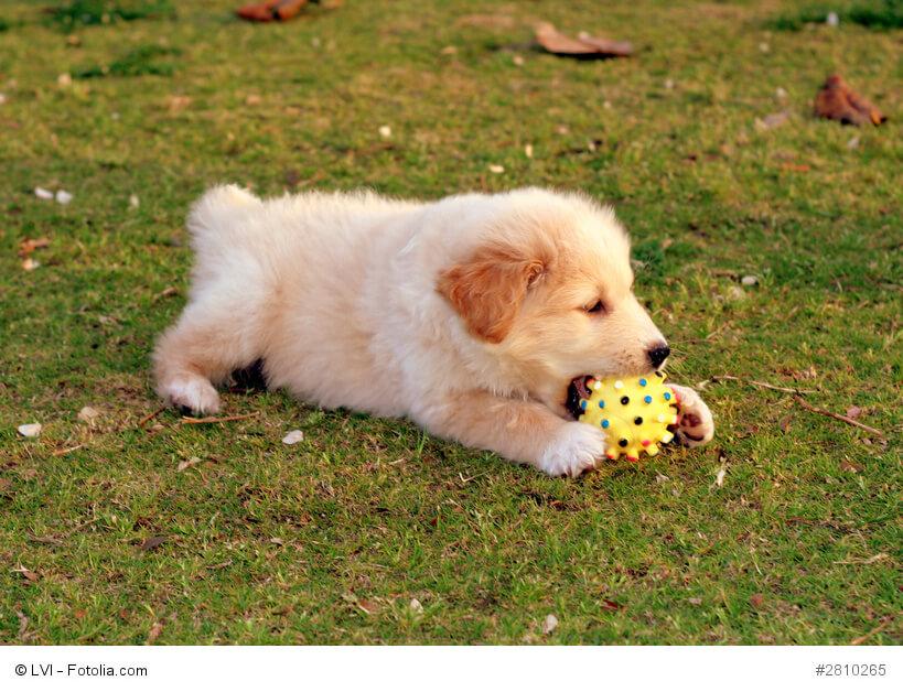 Junge Labrador-Welpen sind wie alle Kinder sehr verspielt und verbringen ihre Zeit am liebsten draußen im Grünen