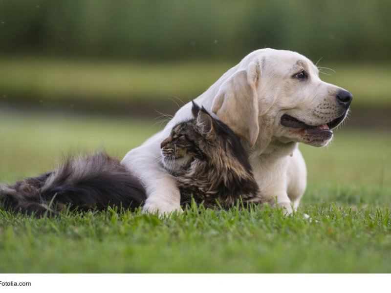 Maine Coon vertragen sich gut mit Hunden
