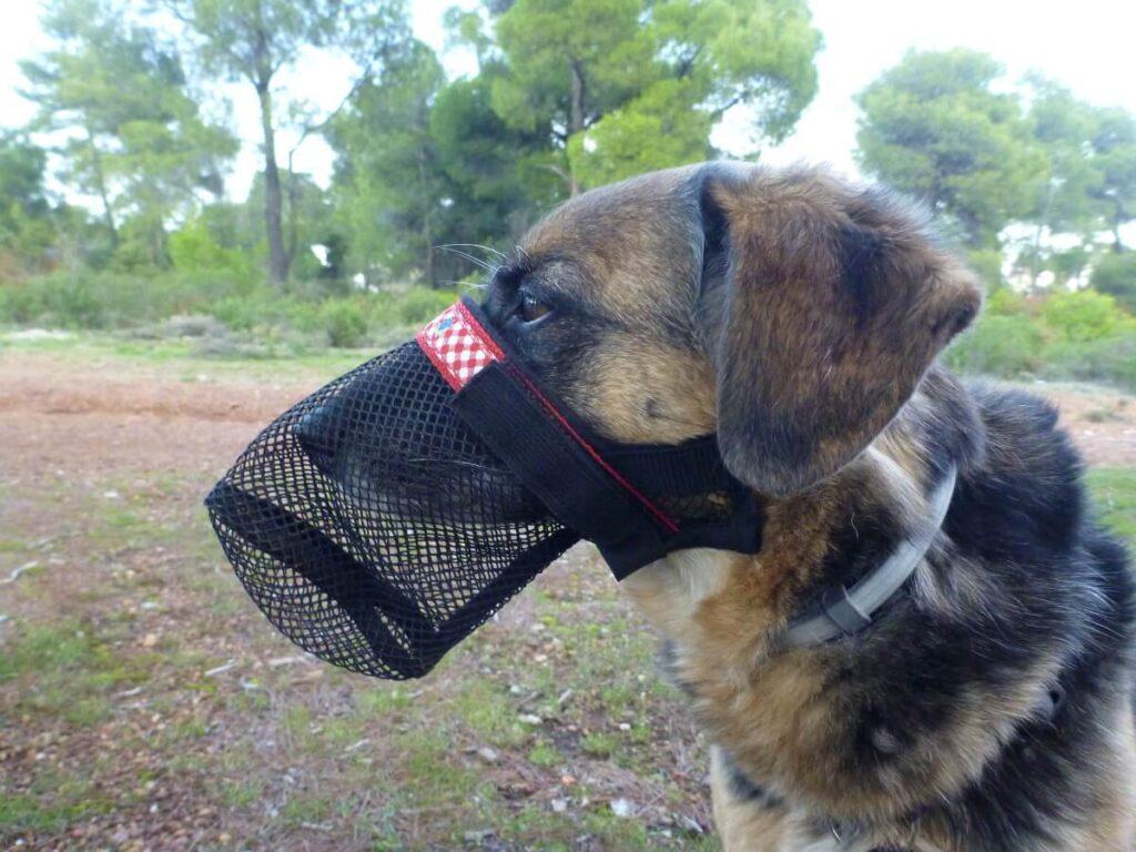 Schäferhund-Mix mit Netzmaulkorb