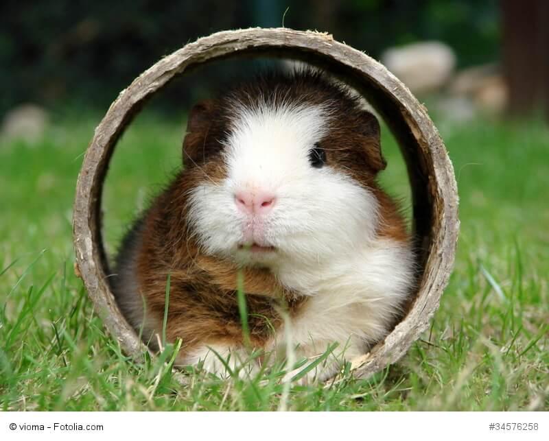 Ein Meerschweinchen sitzt in einer Holzröhre auf einer Wiese