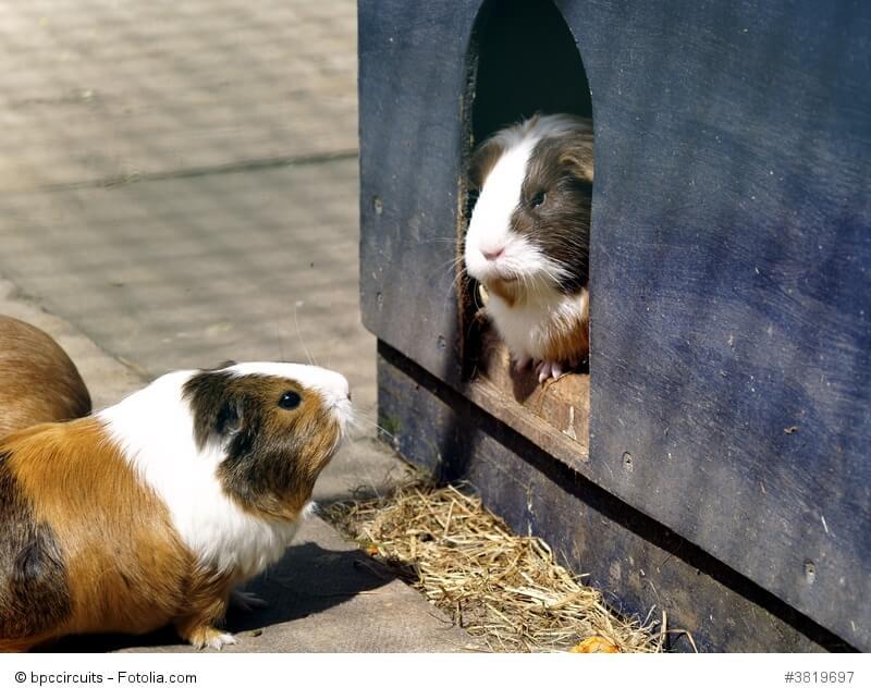 Zwei Meerschweinchen beäugen sich wobei eins in einem Haus sitzt und eins davor im Freien