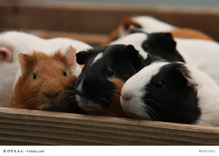 Eine Gruppe Meerschweinchen sitzt in einer Kiste