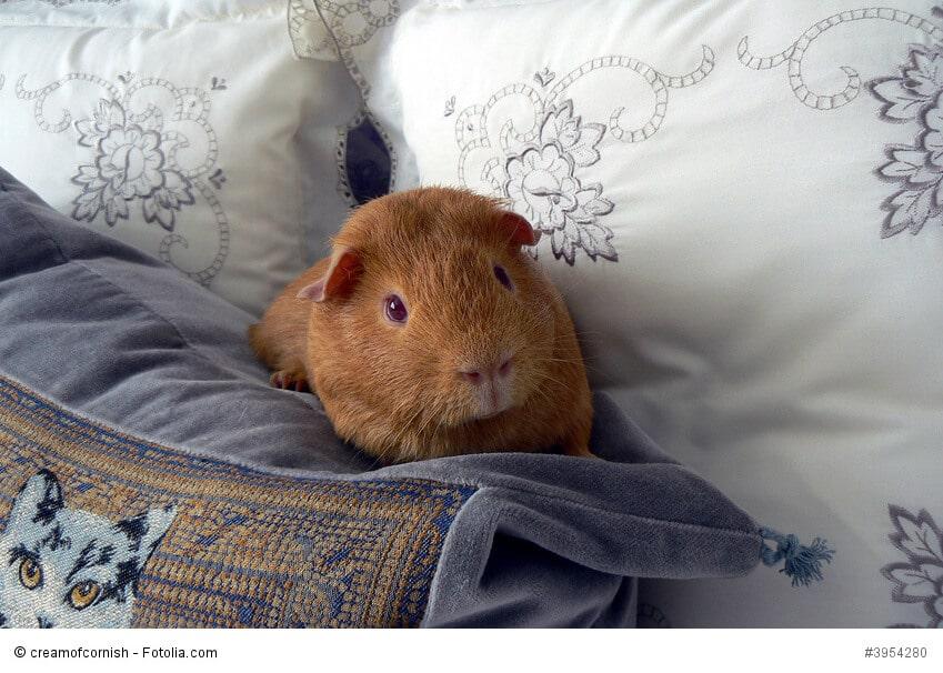 Ein Meerschweinchen sitzt zwischen verschiedenen Kissen.