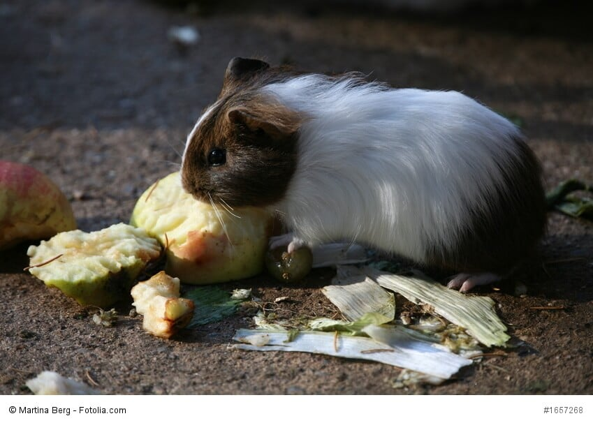 Ein Meerschweinchen frisst an einem Stück Apfel oder Birne