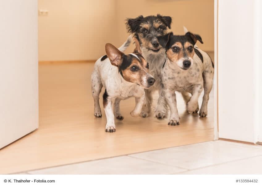 Drei Jack Russel Terrier stehen an einer geöffneten Tür