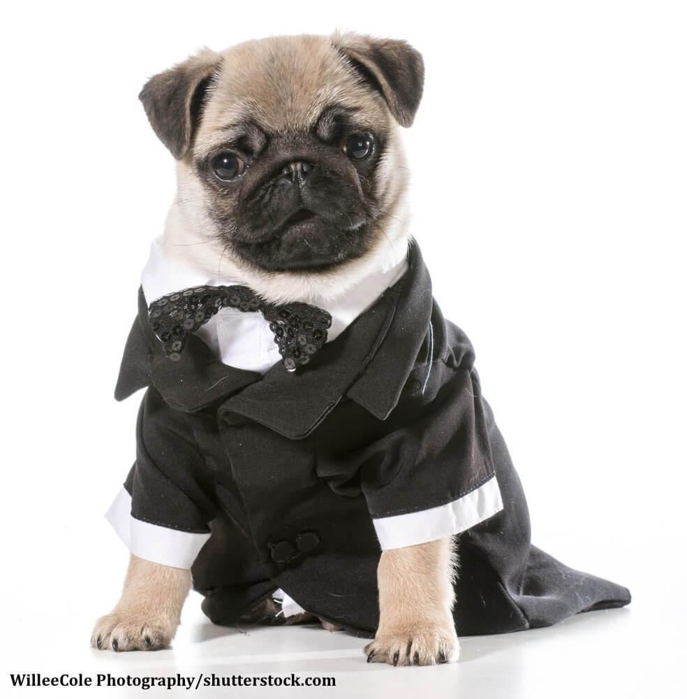 Heller Mops in einem Anzug