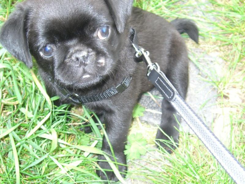 Ein schwarzer Mopswelpe sitzt im Gras an der Leine mit einem Blick zum Verlieben!