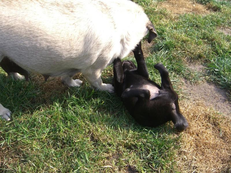 Hundebabies sollten nicht vor der 12. Lebenswoche in ihr neues Zuhause ziehen, damit eine ordentliche Sozialisierung stattfinden kann.