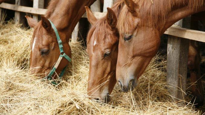 Drei Pferde fressen frisches Heu zwischen den Stäben eines Holzzaunes